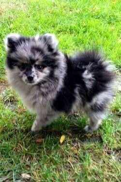 Mix Pomeranian Schattigste Honden Schattige Dieren Honden