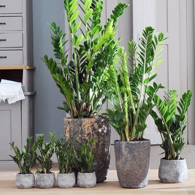 le zamioculcas une plante facile vivre decoracion plantas plantas de interior. Black Bedroom Furniture Sets. Home Design Ideas