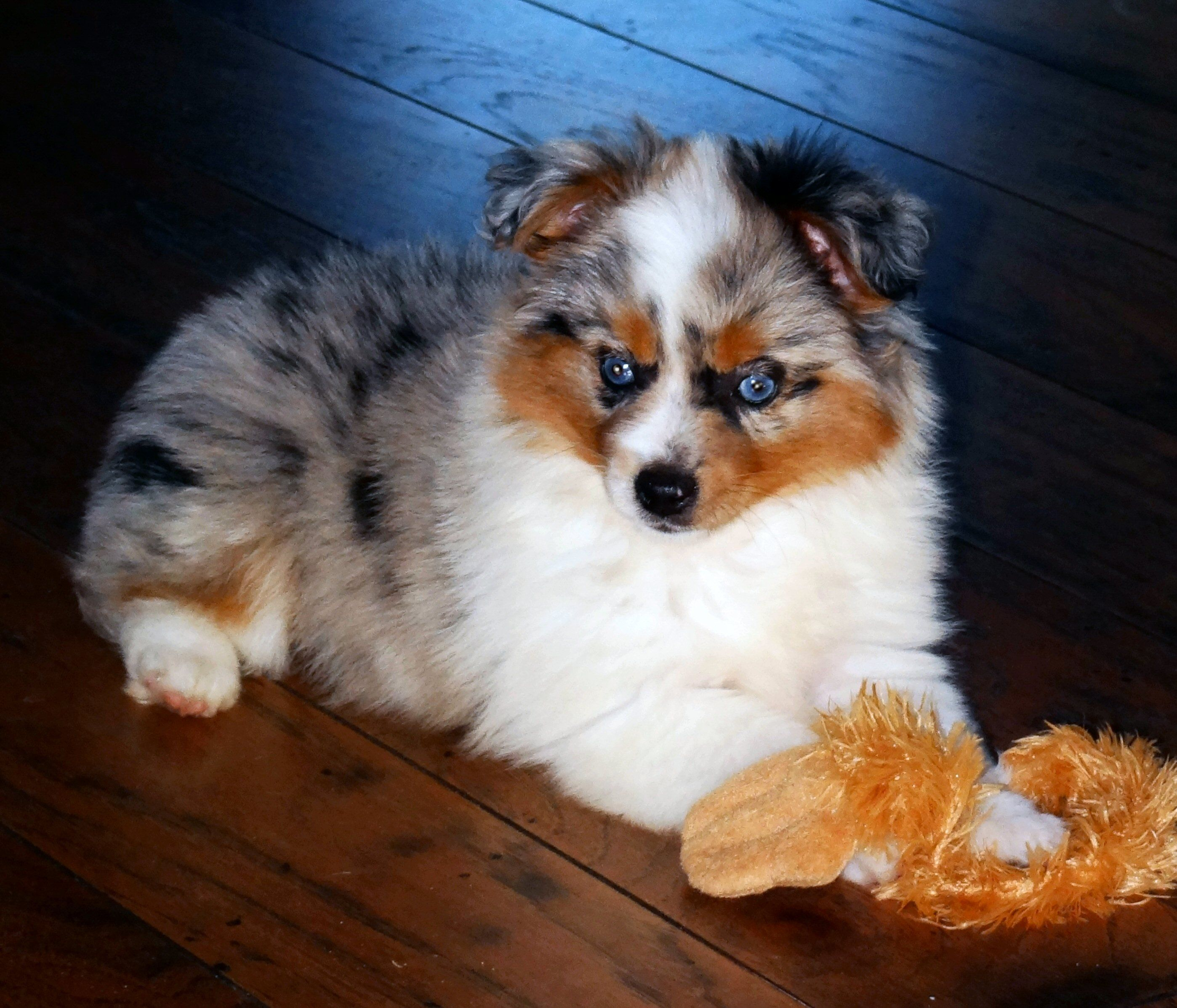 Toy Australian Shepherd Puppy. Meet Heidi. Australian