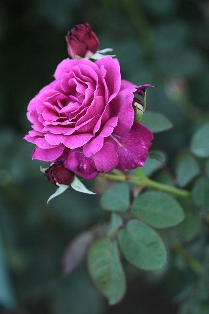 Floribunda Rose: Rosa 'Vaguelette'