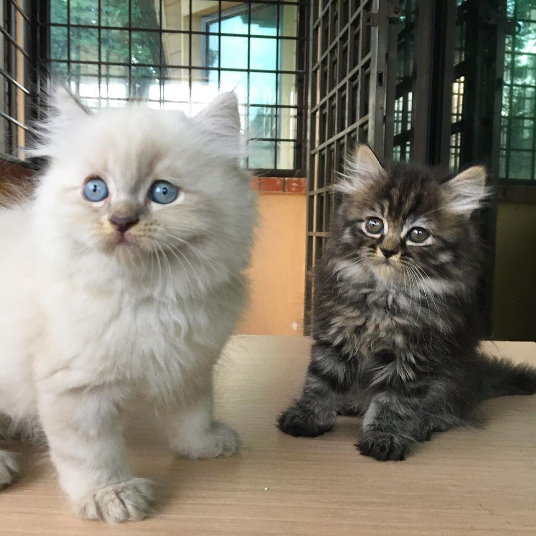 Pin By Grace Kor On Kitti Persian Kittens Baby Cats Persian Kittens For Sale