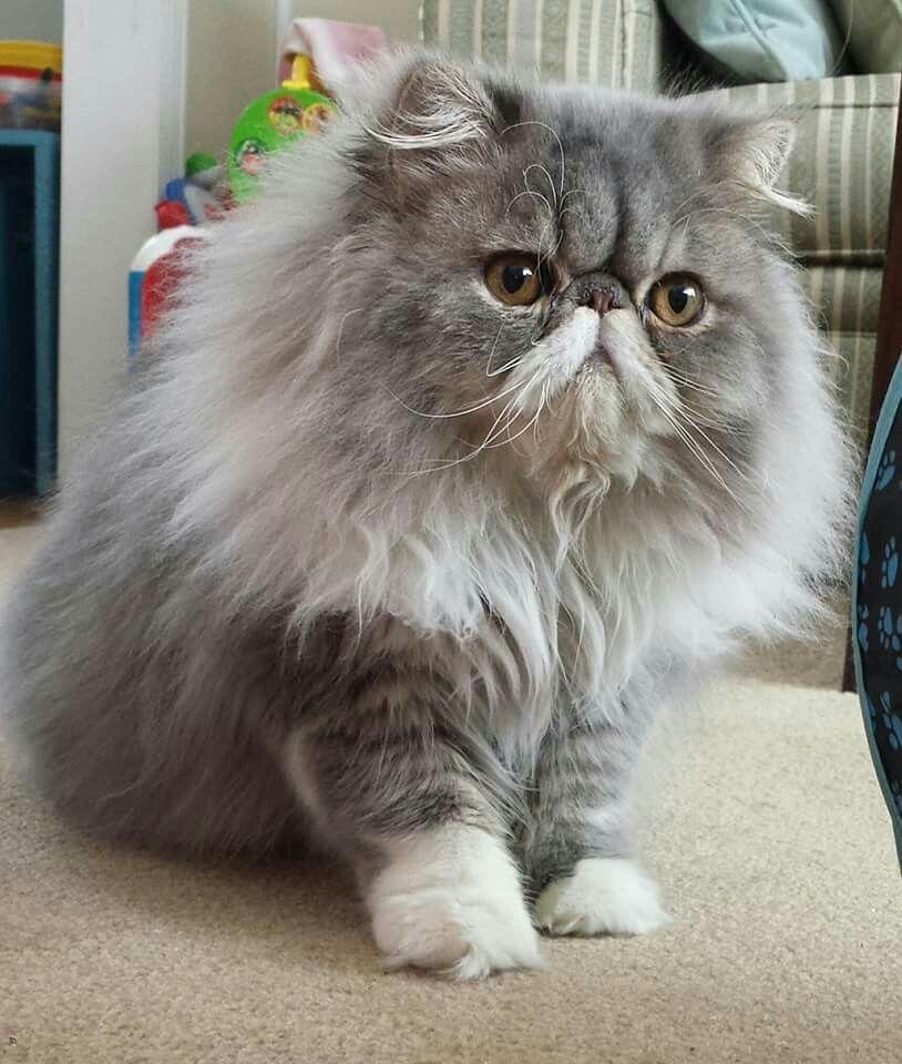 Pin On Persian Cat
