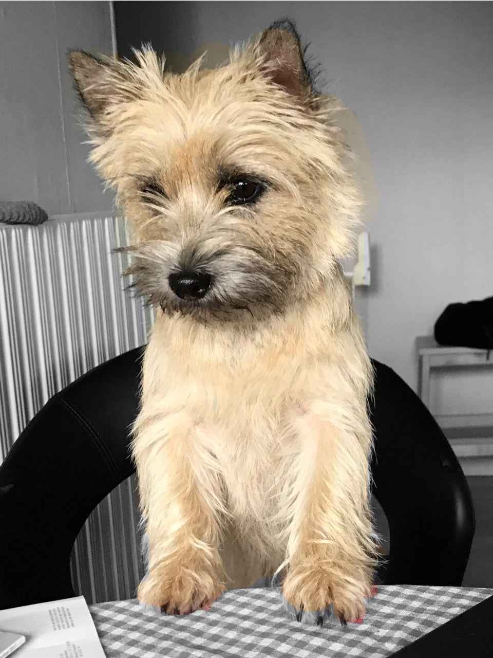 Too cute Cairn terrier, Terrier puppies, Norwich terrier