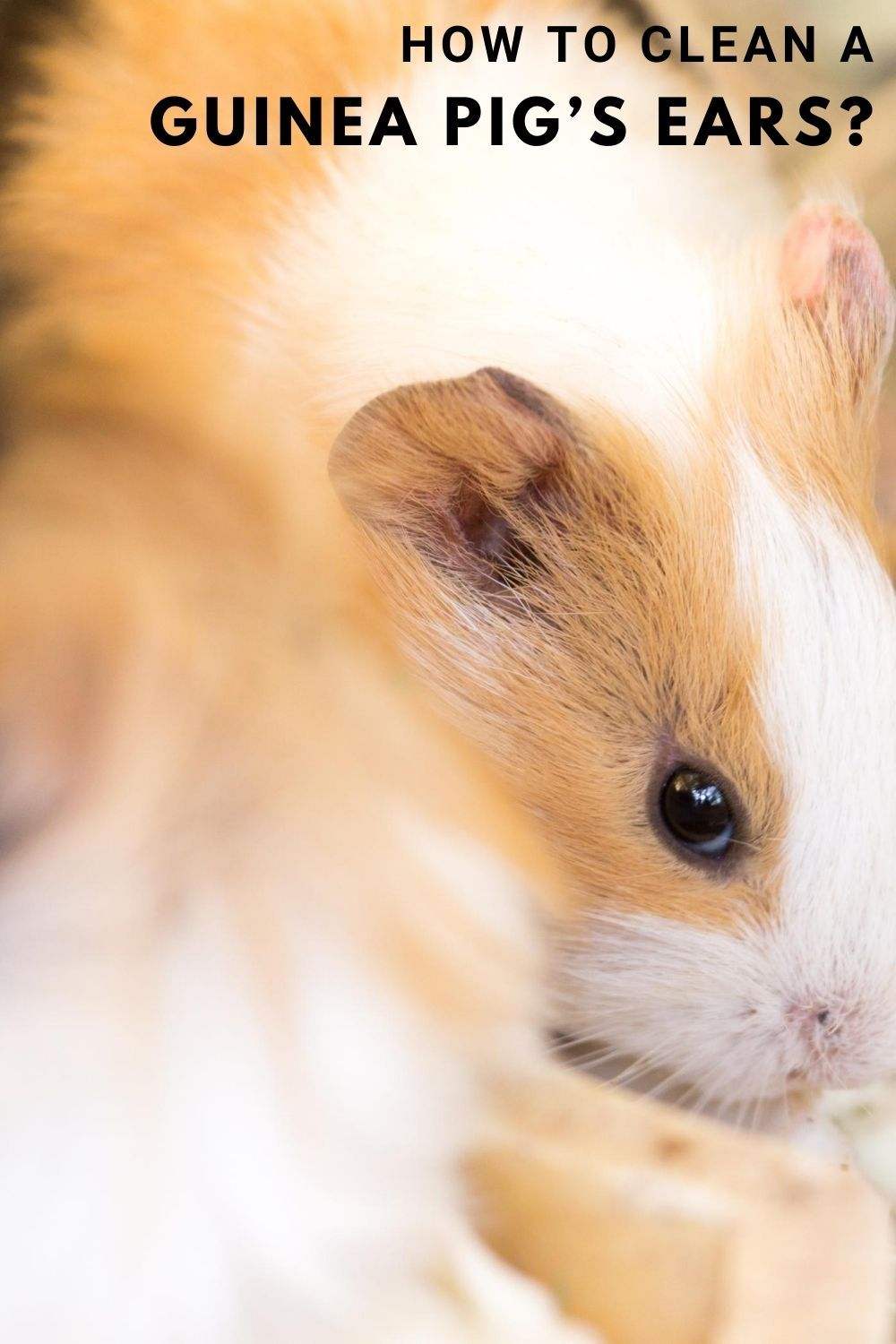 Pin On All Things Guinea Pig