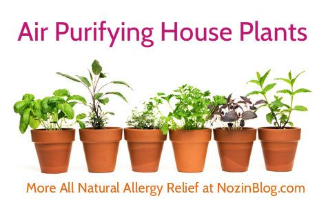 Natural Allergy Relief Air Purifying House Plants