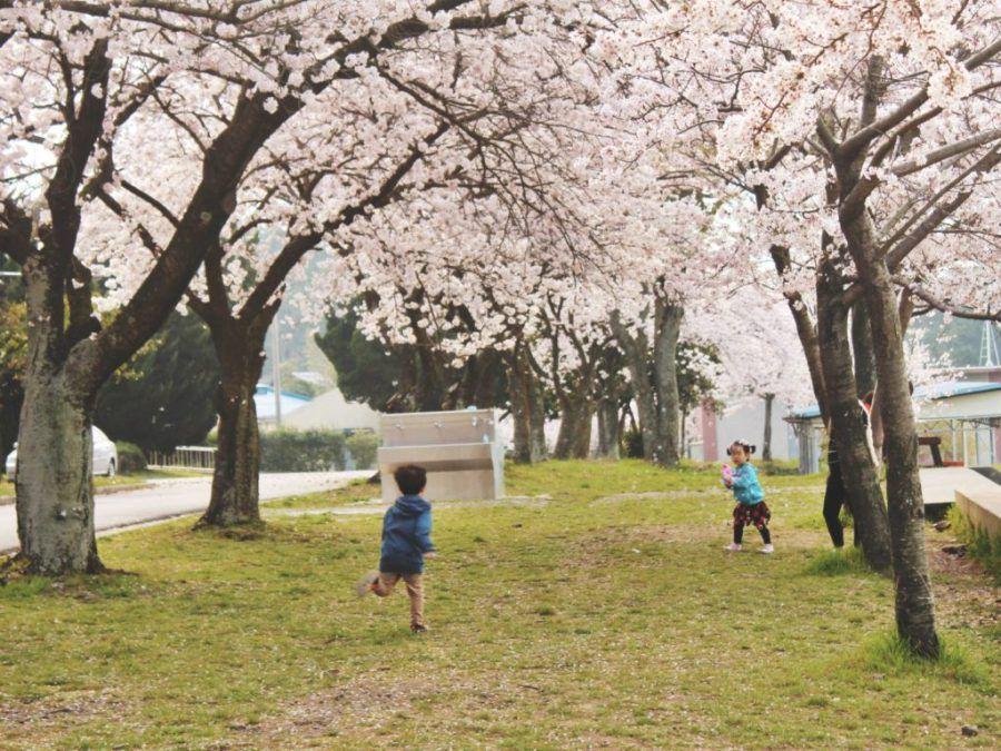 Spring In Korea 2 Korean Cherry Blossom Sites In Jeju City Television Of Nomads Jeju City Jeju Cherry Blossom