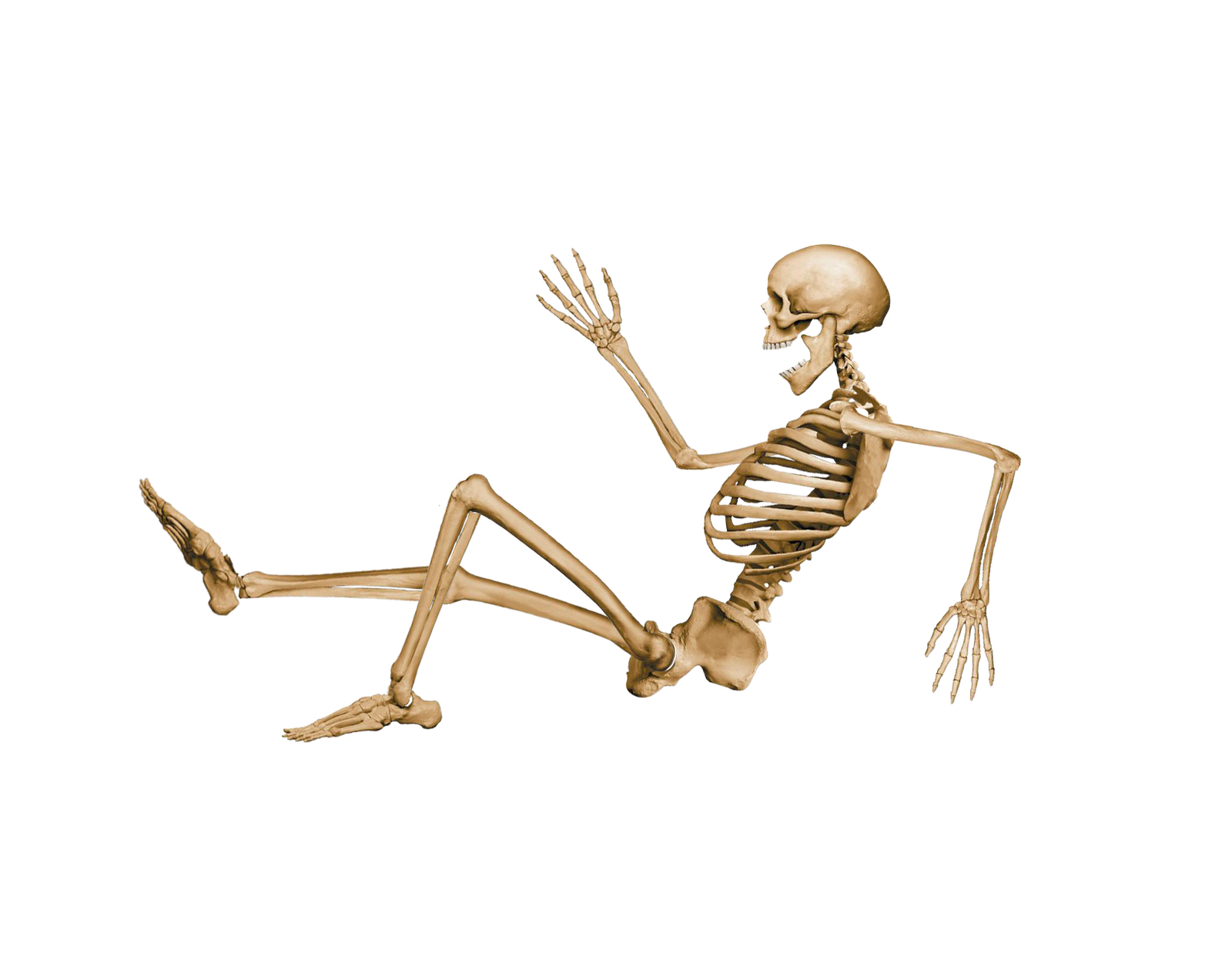 skeleton sitting down - google search | human anatomy (photo, Skeleton