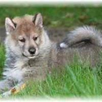 Husky du Vercors - Elevage de Husky Sibérien, Sainte-Eulalie, France - Top Local Places