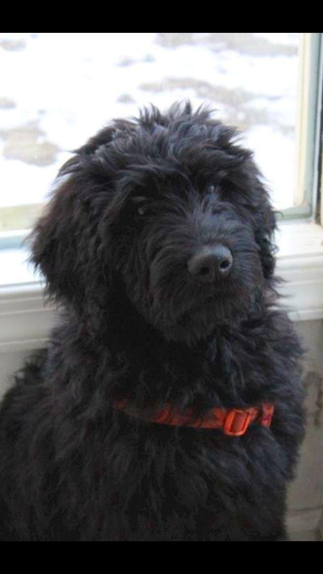 Black Goldendoodles Mccoy My Black Goldendoodle Puppy
