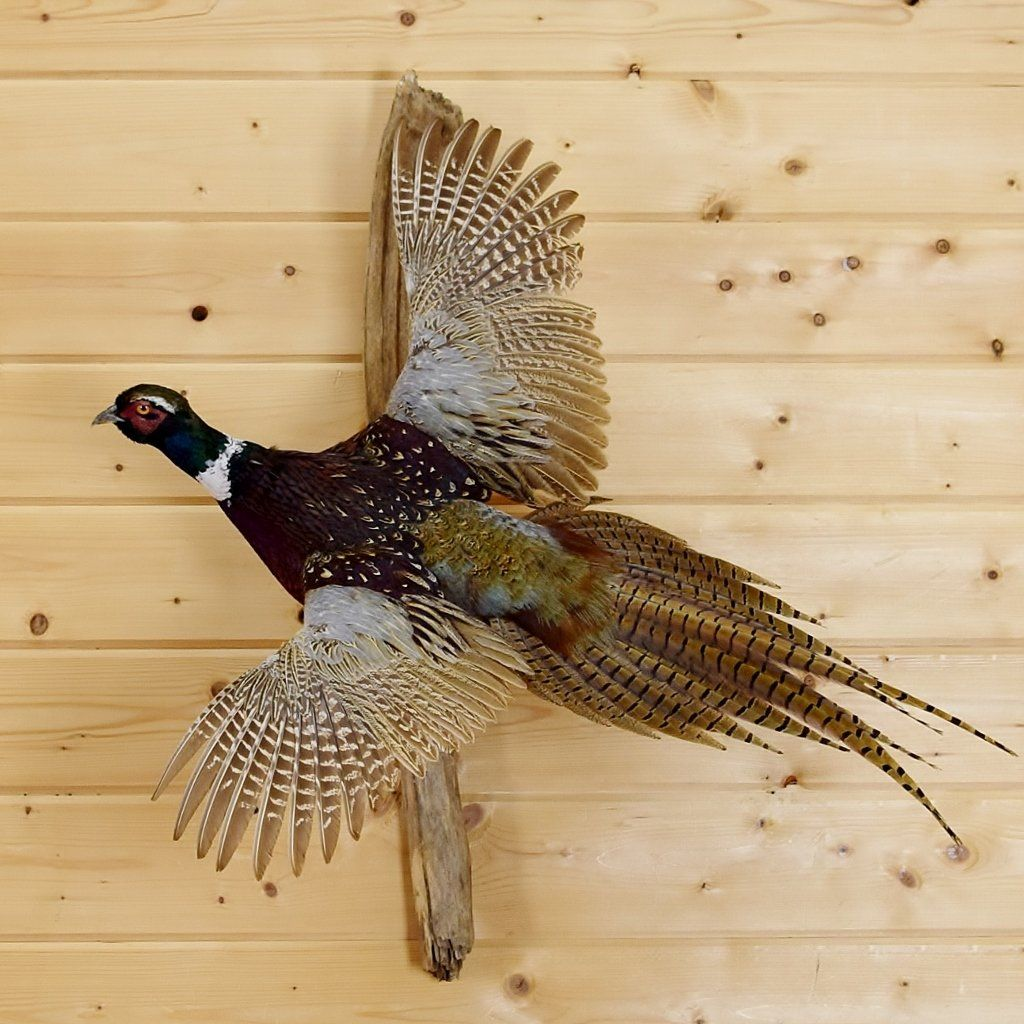 Flying Ring Necked Pheasant Taxidermy Mount Sw4765 Taxidermy Mounts Taxidermy For Sale Ring Necked Pheasant