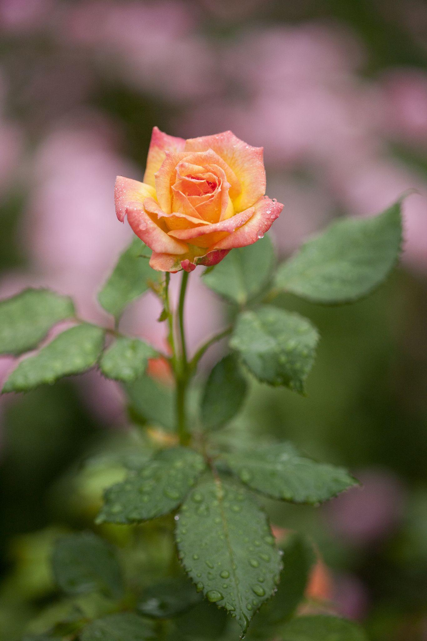 Floribunda rose garden delight gardens