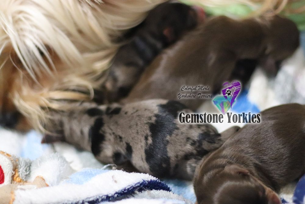 Pin On Exotic Colorful Yorkies For Sale Adoption