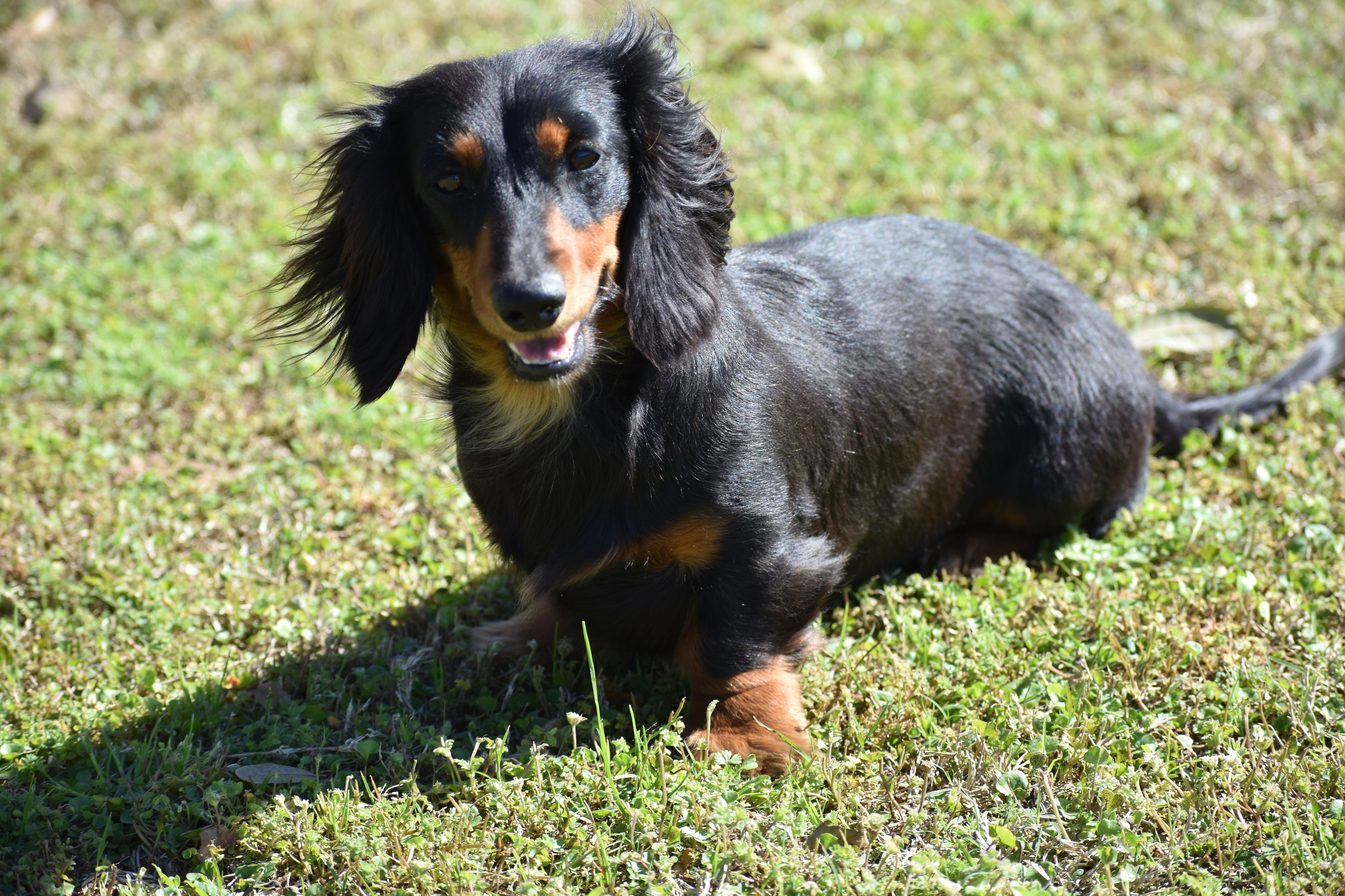 Long Hair Black Tan Miniature Dachshund Mary Found At Select
