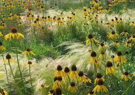 Bildergebnis für echinacea gelb
