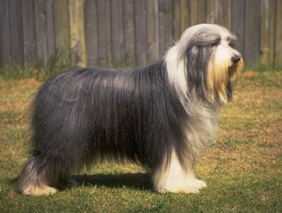 A Bearded Collie The Resemble Old English Sheepdogs Biggest