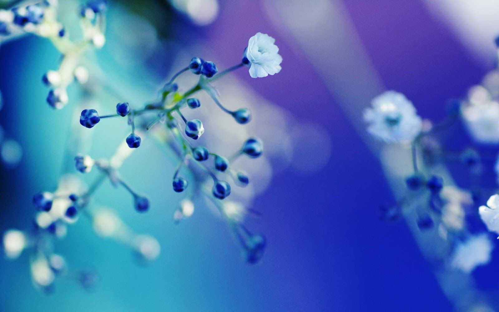 Blue Flowers Blue White Flower Close Up Wallpaper Hd Blue Is The