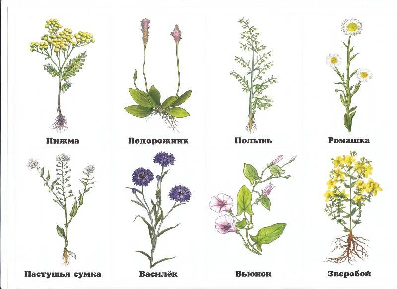 Виды полевых цветов в картинках ближайшее время