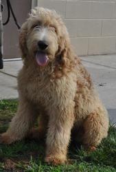 Adopt Golden Doodle On Standard Poodle Mix Poodle Mix Goldendoodle