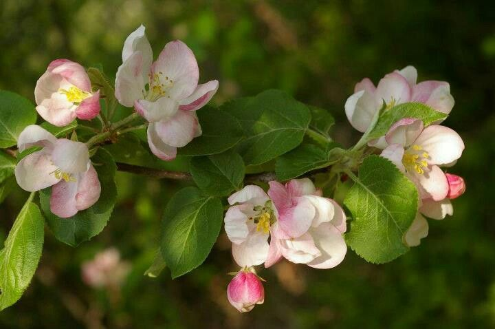 Apple blossoms from the annapolis valleynova scotia