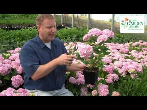 Short video on how to get hydrangeas to double in size as soon as you plant them.