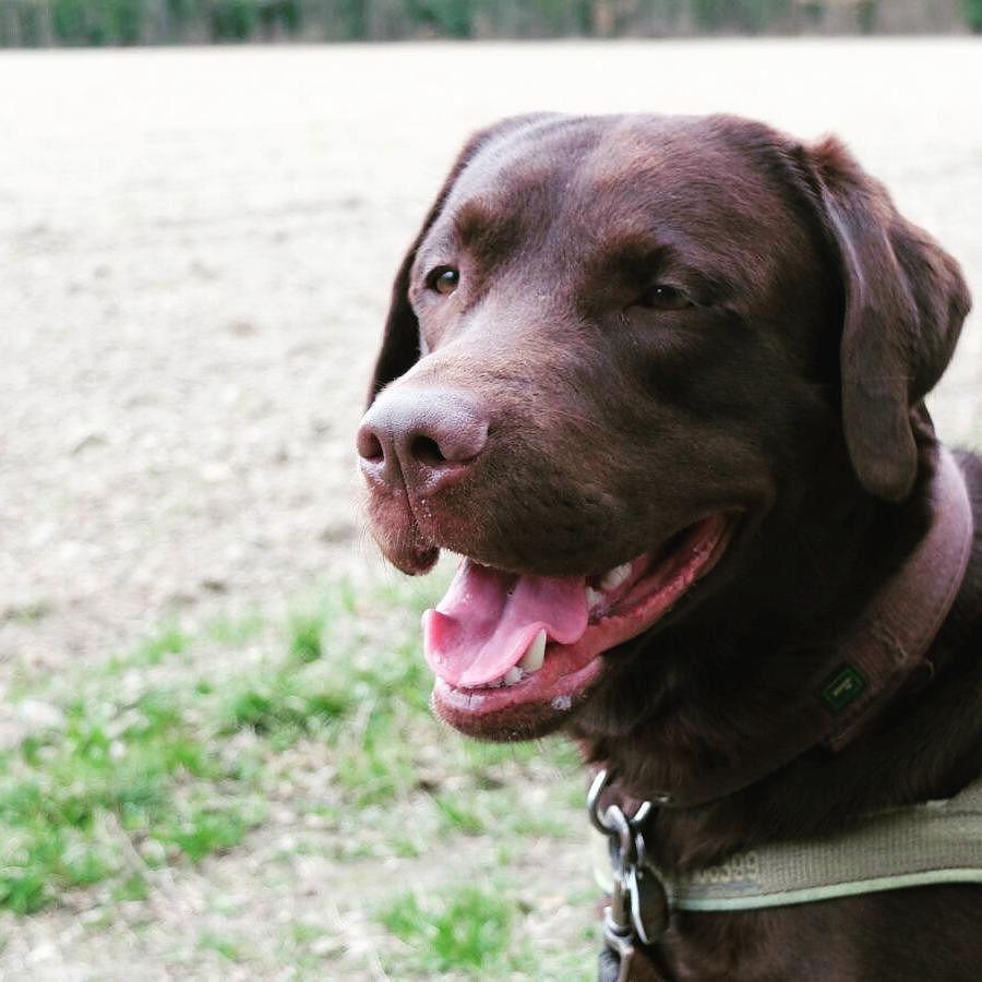 Ernie is a happy boy!  #labradors_ #labradorable #labradorlove #labradorlife #labradorretriver #labradorchocolate #labradorofinstagram #dog #dog #dog #dog #dogsarebetterthanpeople #dogsareagirlsbestfriend #dogloversofinstagram #dogpark