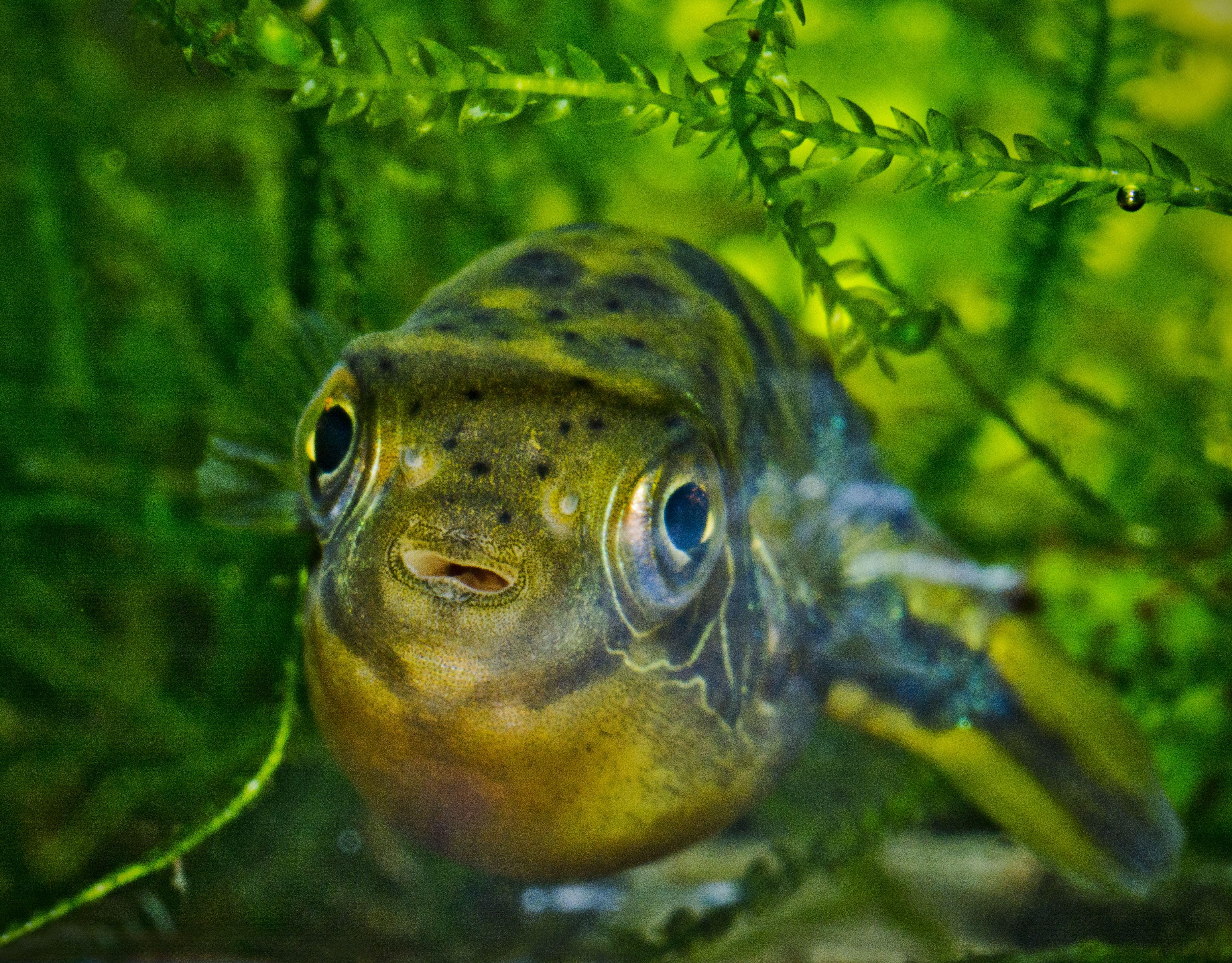 Dwarf Puffer Carinotetraodon Travancoricus Dwarf Puffer Fish Puffer Fish Fish