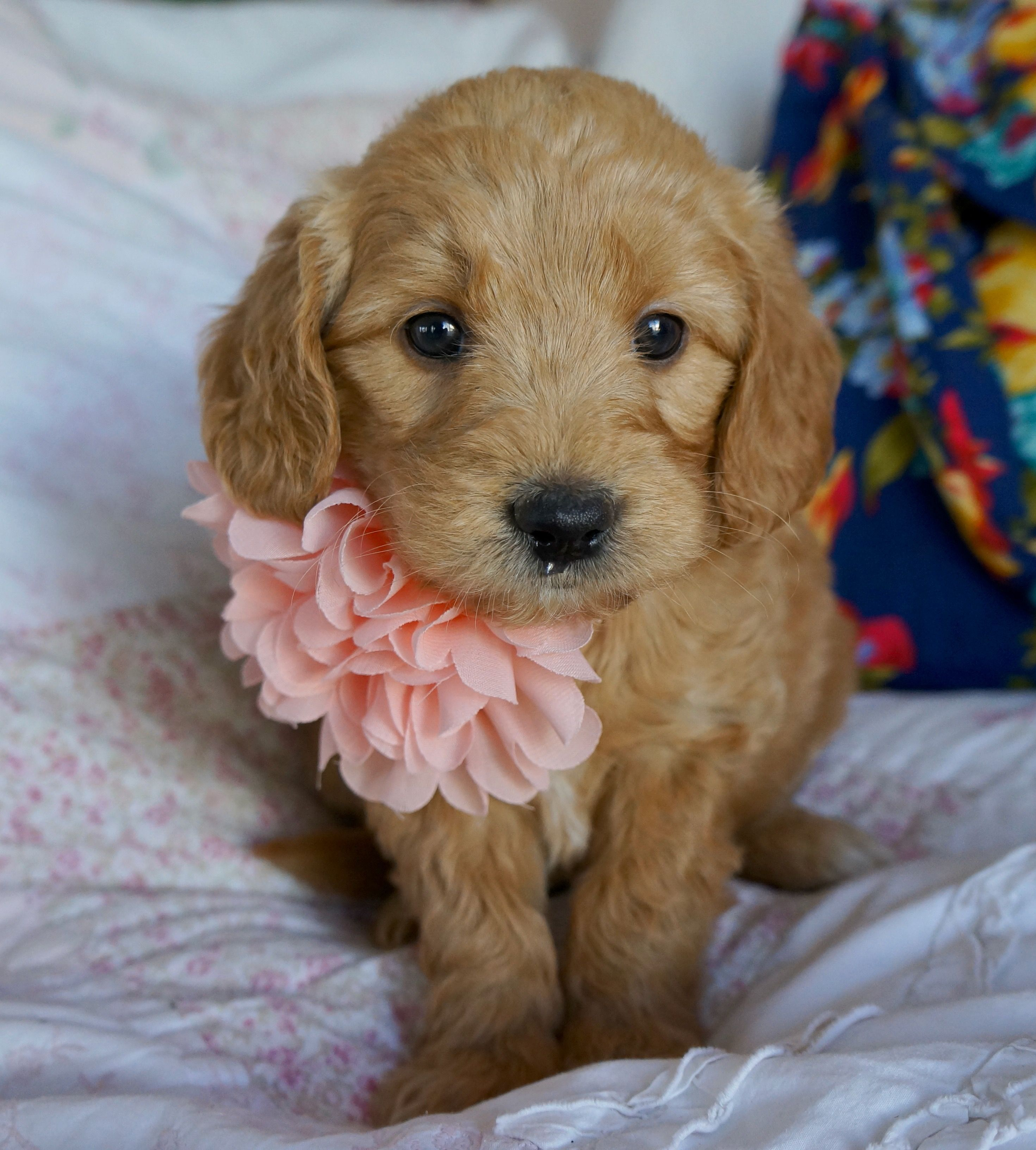 Sweet, Kissable F1 Goldendoodle Goldendoodle puppy for