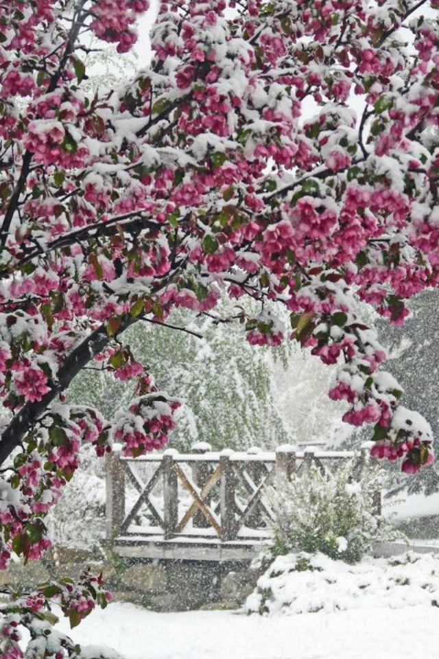 Snow On Cherry Blossom Trees Winter Scenery Winter Pictures Winter Scenes