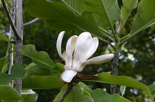 Magnolia Officinalis Is Also Called Magnolia Bark Extract Japanese Magnolia Which Is Used In Healthcare Products Japanese Magnolia Goji Berries Magnolia