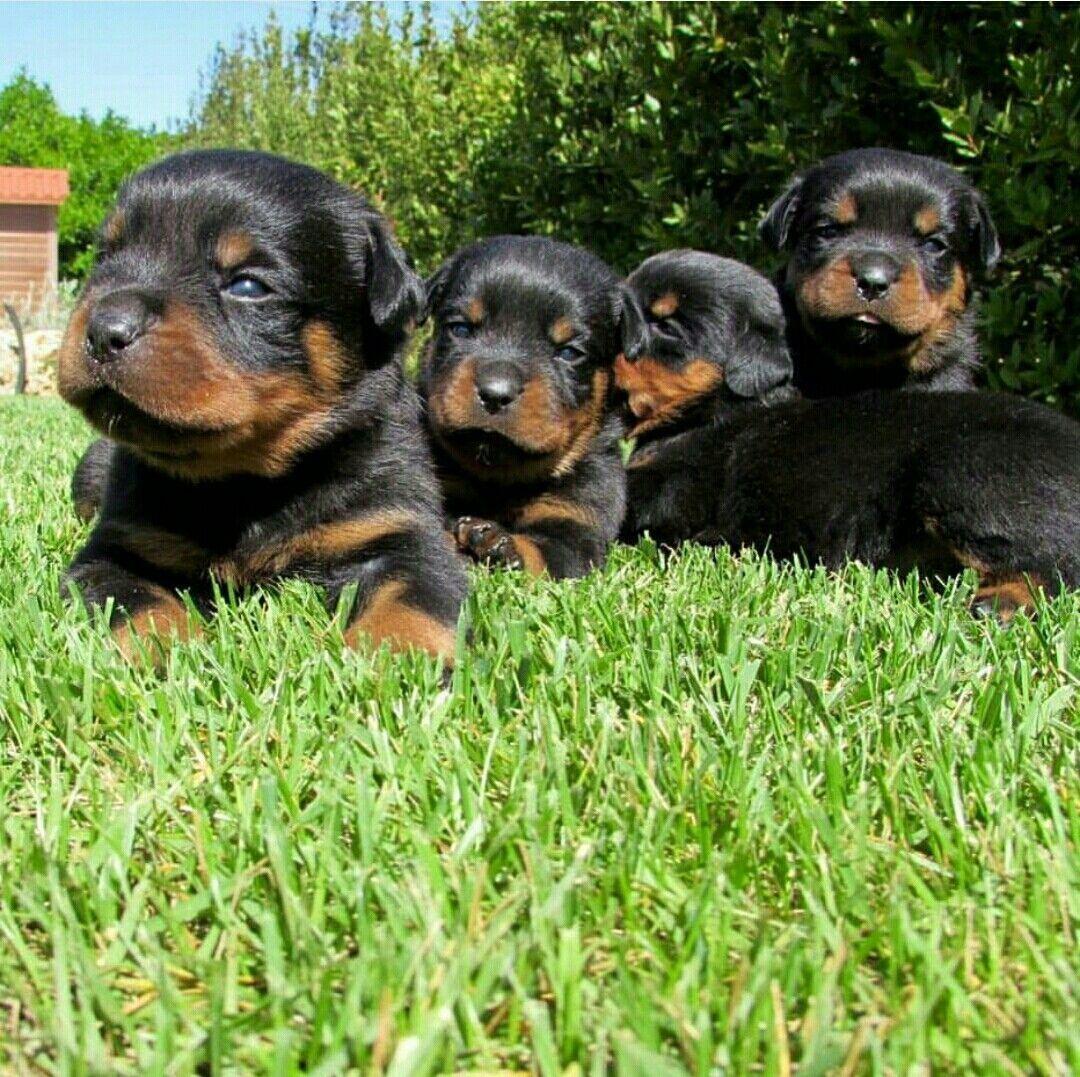 Rottweiler Pup Rottweiler Pups Rottweiler Puppies Rottweiler Dog Training Your Dog