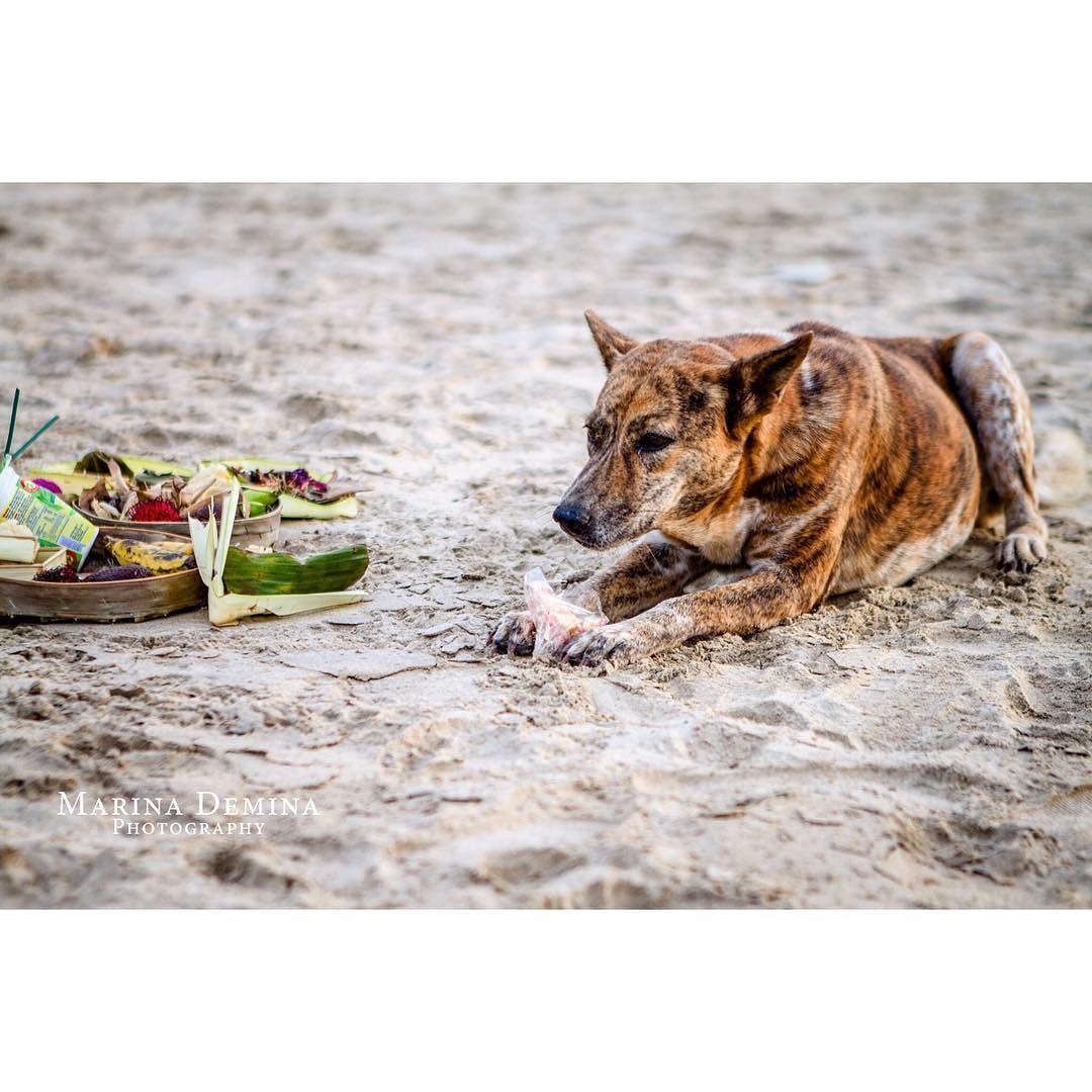 A very typical bali dog meditating at the beach in Bali Indonesia  #dog #bali #wanderlust #tbt #travel #hindu #traveler #travelbag #traveling #travelpic #travelasia #instasia #travelbali #explorebali #exploretheworld #exploringtheglobe #seetheworld #travelblog #travelgram #travelogue #travelpics #travelguide #ourplanetdaily #lifeofadventure #travelphoto #travelblogger #traveltheworld #travelindonesia #travelphotography #follow by marinedemina