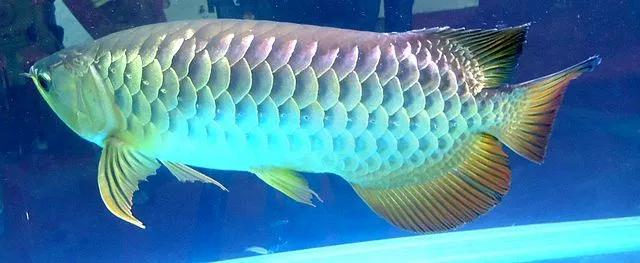 Red Tail Golden Arowana Swimming Ikan Genetik