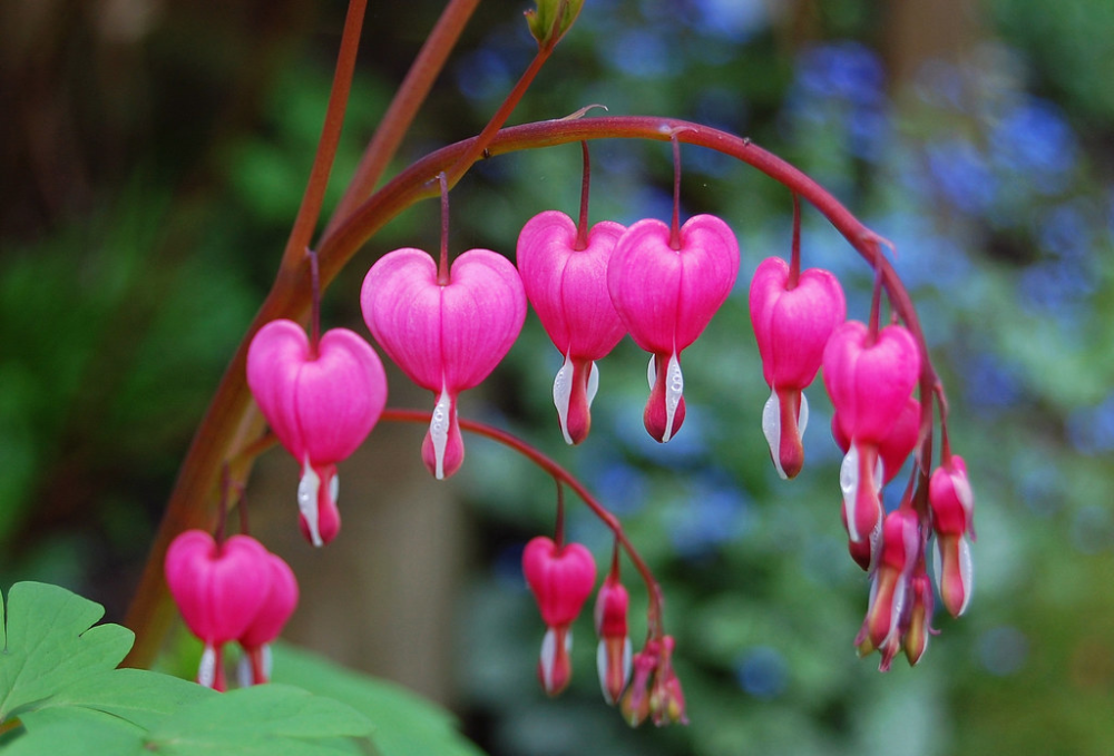 Bleeding Heart Flowers Bleeding Heart Flower Most Beautiful Flowers Flower Heart