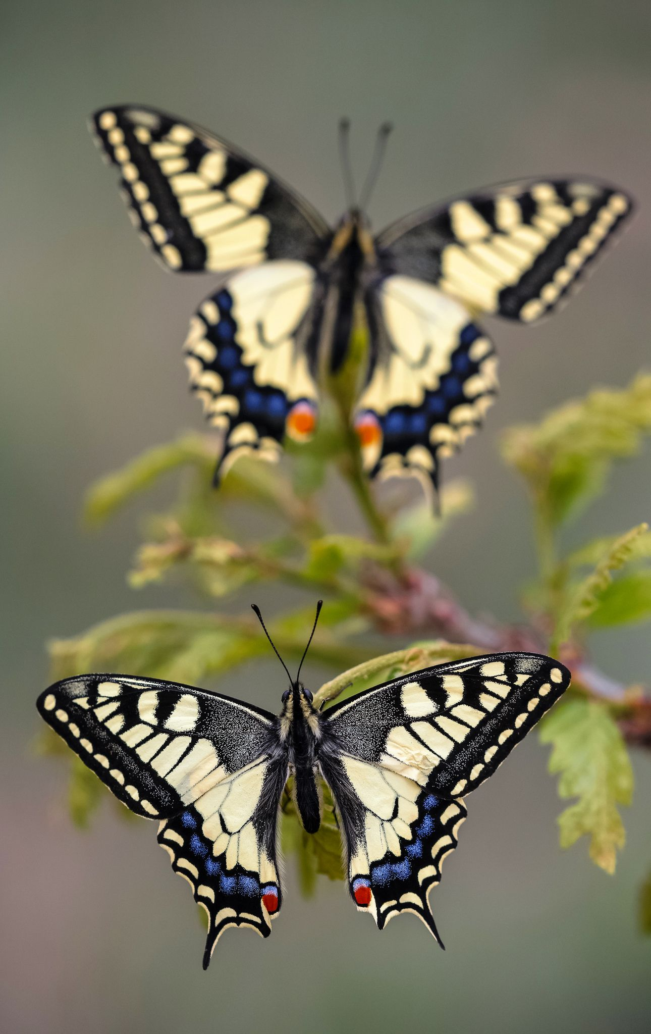 Papilio machaon Beautiful butterflies, Butterfly images
