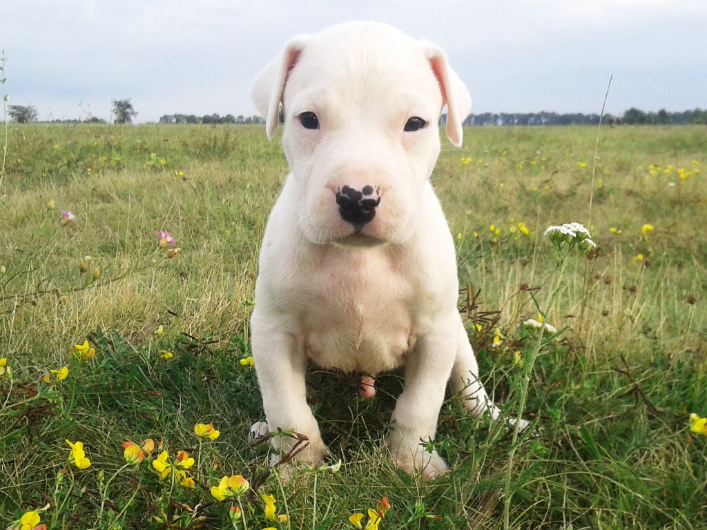 Argentine Dogo For Sale Argentine Dogo Puppies Puppies Cute Dogs Dogs