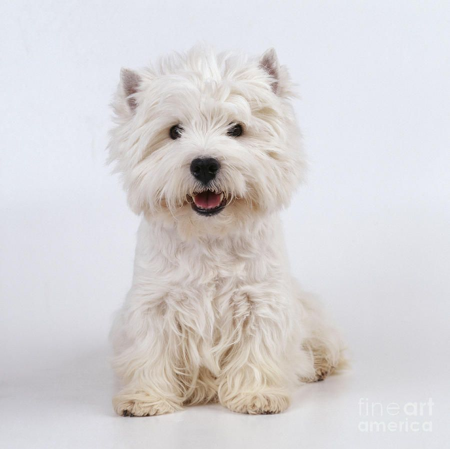 Pin by Laurie ღ on Westie Love | White terrier, Westies