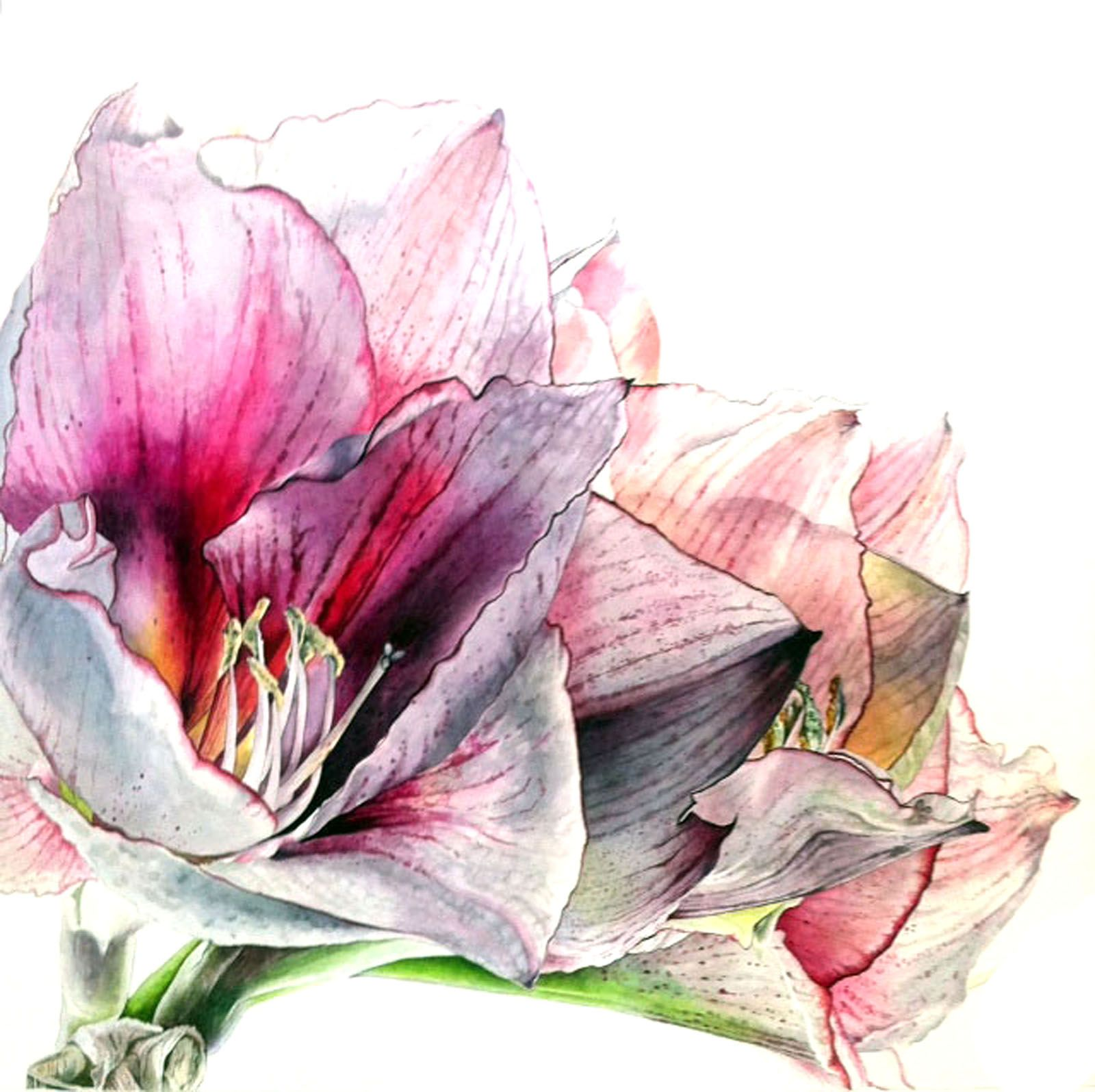 Amaryllis Helen Campell Botanical Art Botanical Watercolor