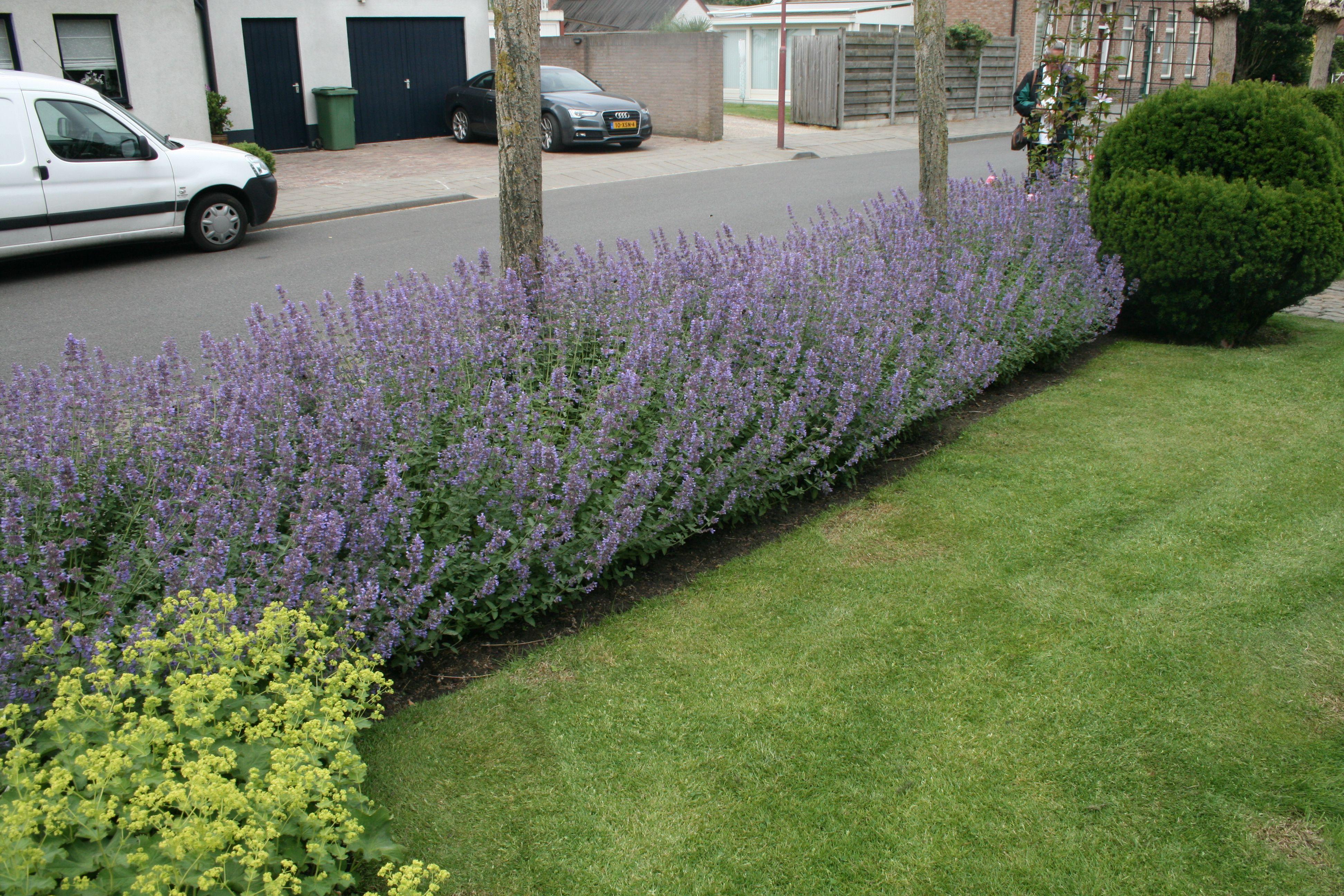 Katzenminze Vorgarten Laura Dingemans Holland Bepflanzung Vorgarten Garten Ideen