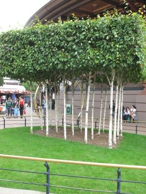 Pleached birch trees