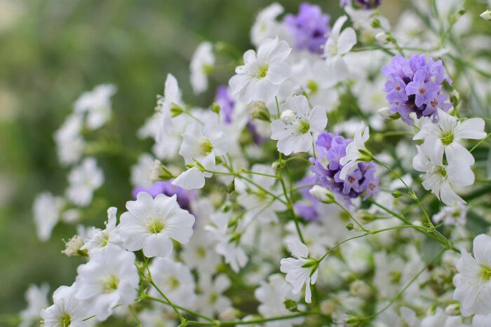 Baby Breath Or Gypsophila Discover Their Origin And Don T Forget To Place Your Orders To 1 305 677 Easy To Grow Flowers Flower Meanings Babys Breath Flowers