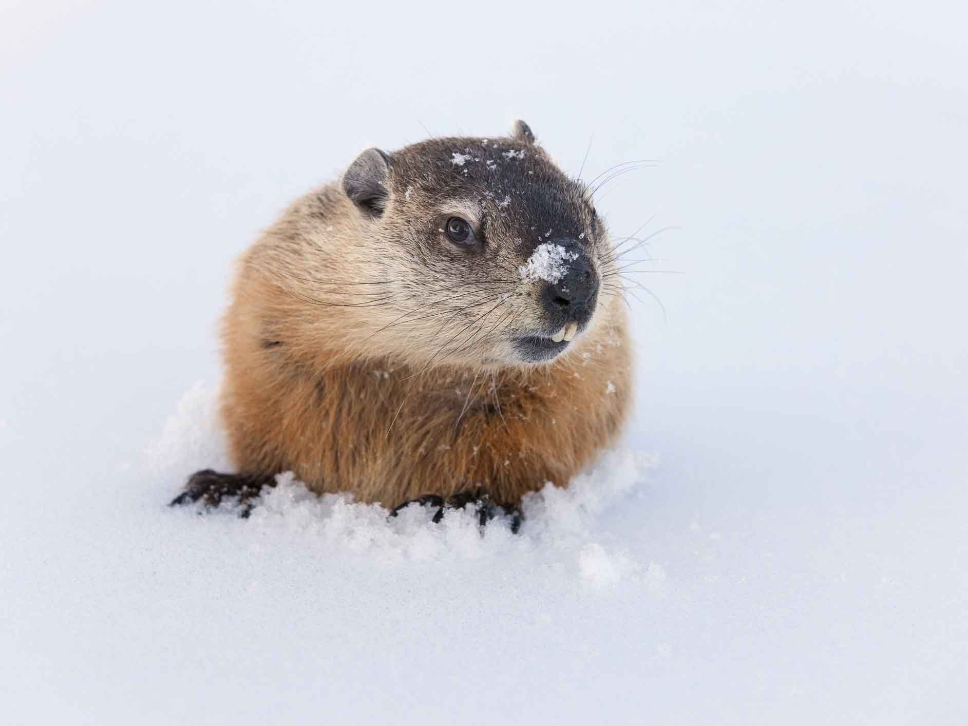 Discover The History Of Groundhog Day As Well As