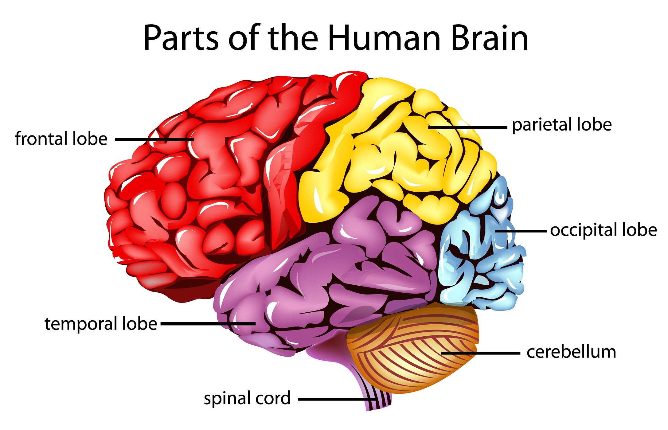 The frontal lobes are the parts of the brain that control ...