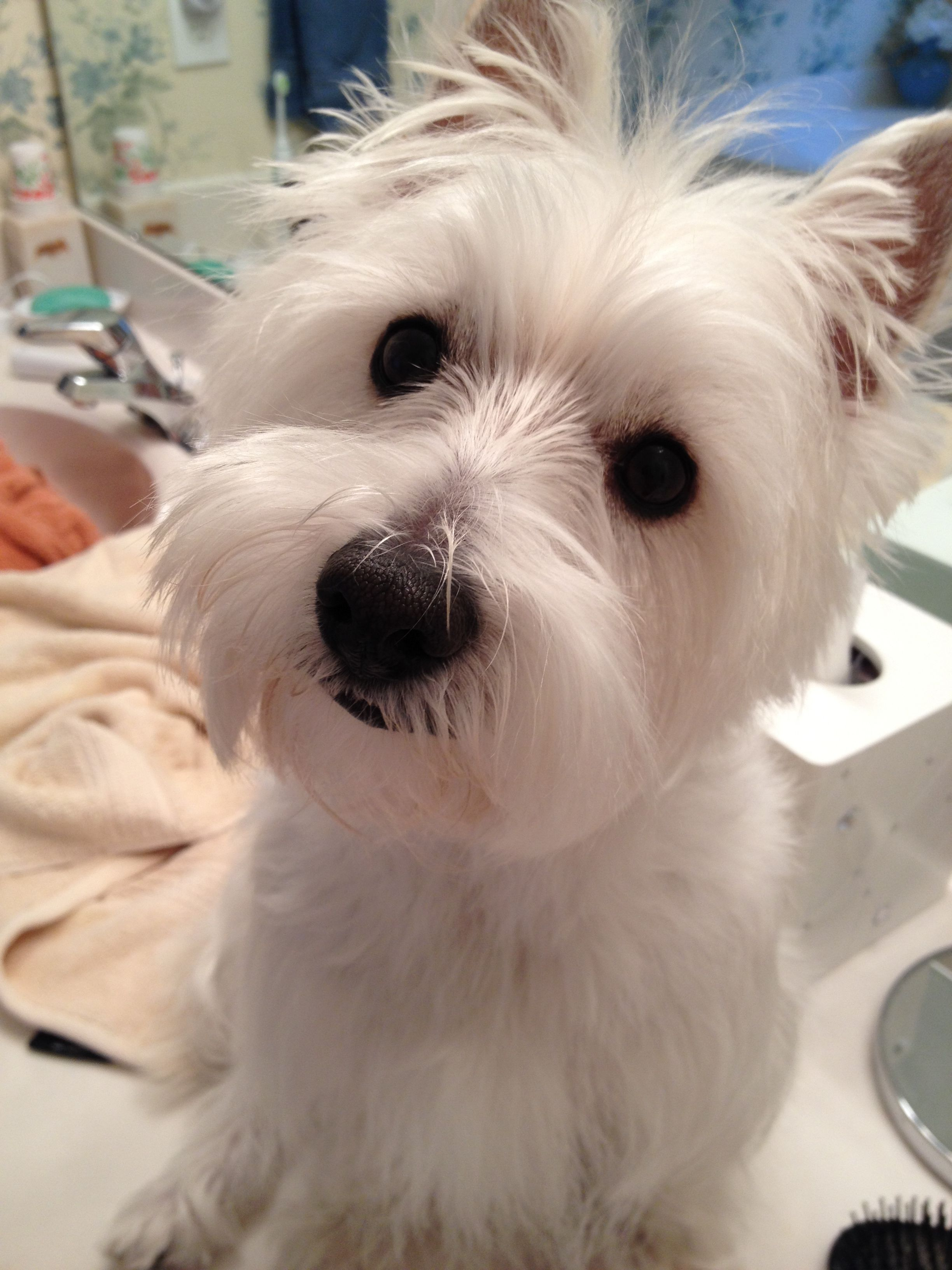 Pin by Betty Ann Scarantino on Lilly Westie puppies