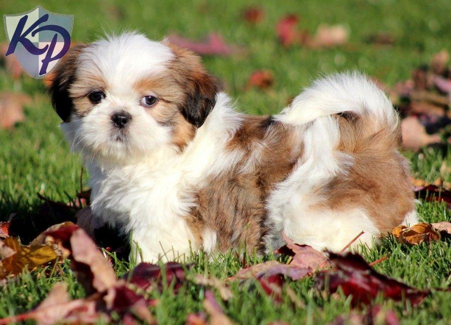 Puppy Finder Find Buy A Dog Today By Using Our Petfinder Shih Tzu Puppy Shih Tzu Puppies