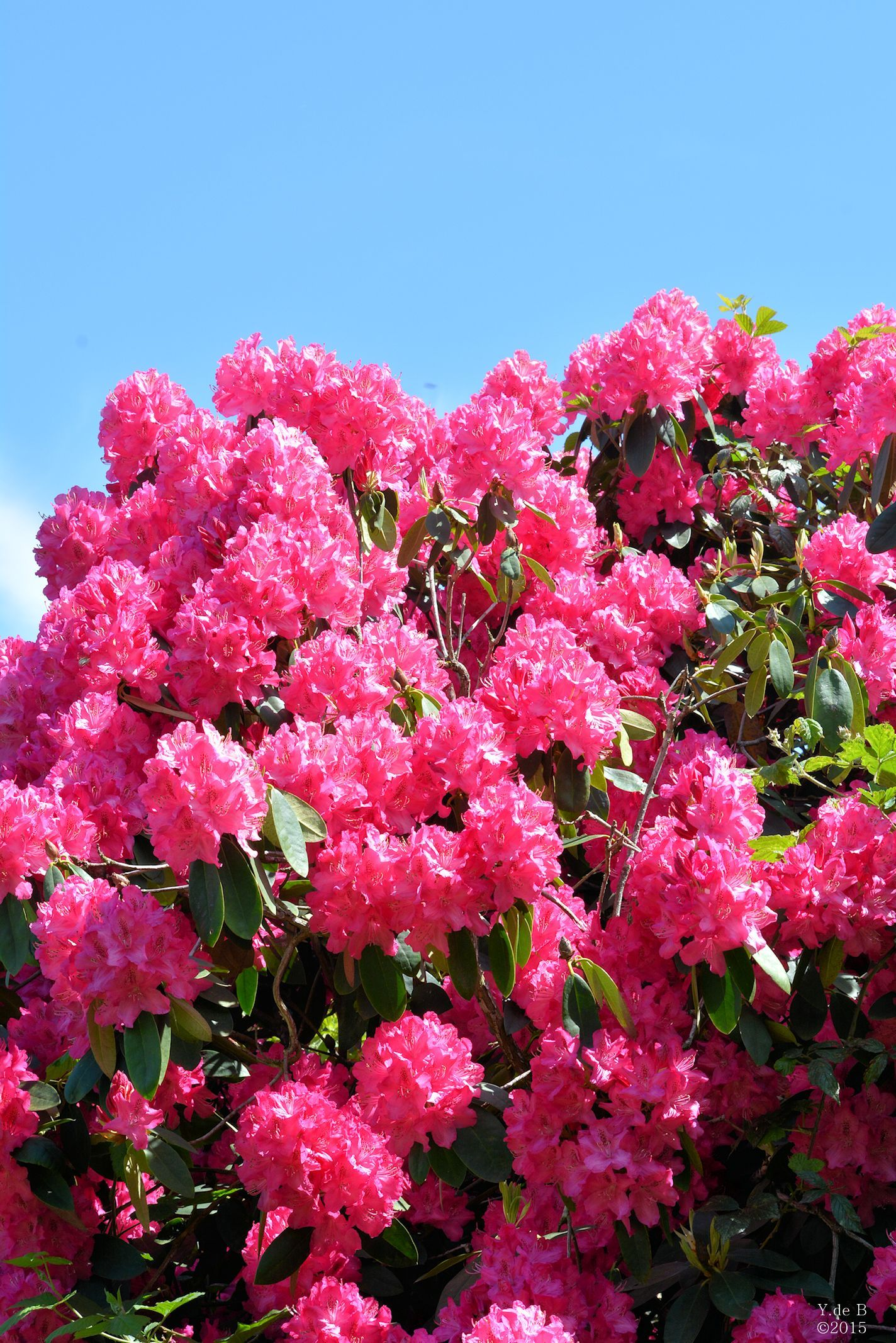 Pink Rhodondendron