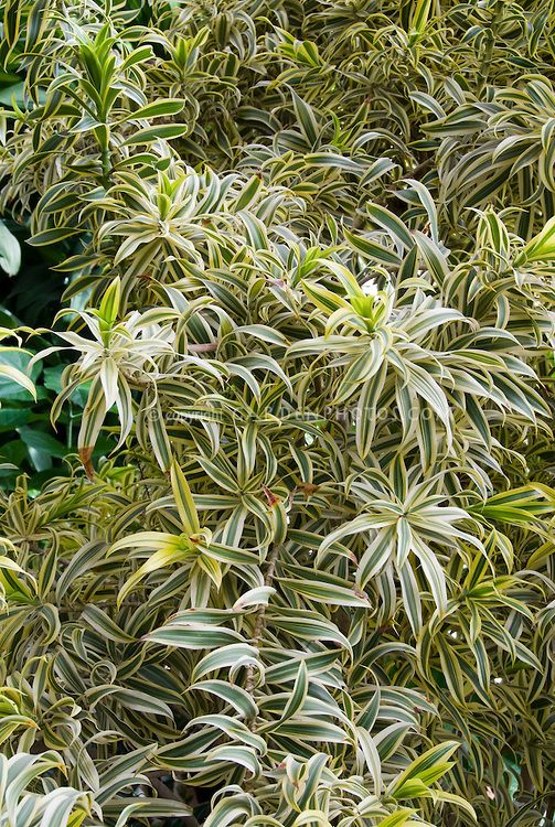 Dracaena Reflexa Song Of India Aka Pleomele Variegated Palm Like Plant Tropical Tree Madagascar Native Malaysian Small Leaved Dragon