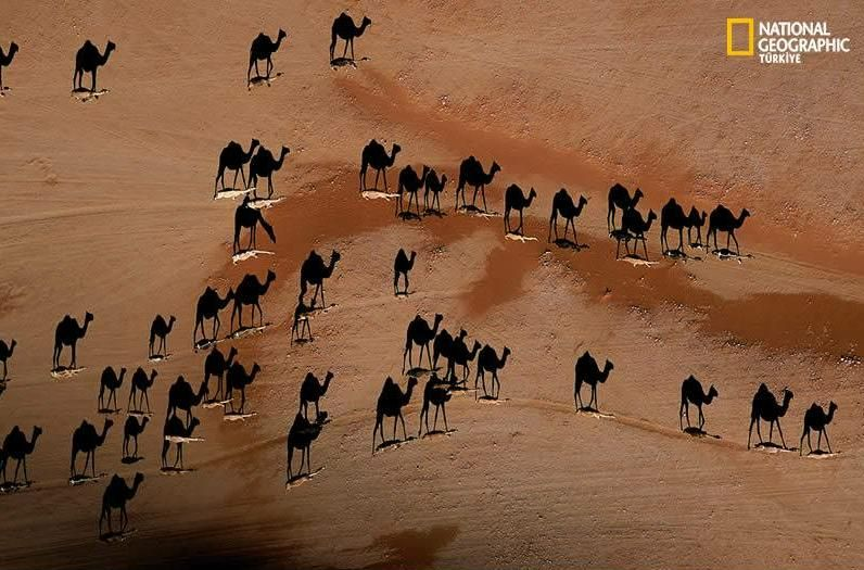 This picture was taken directly above the camels in the desert at sunset. It is considered one of the best pictures of the year. Look closely, the camels ...