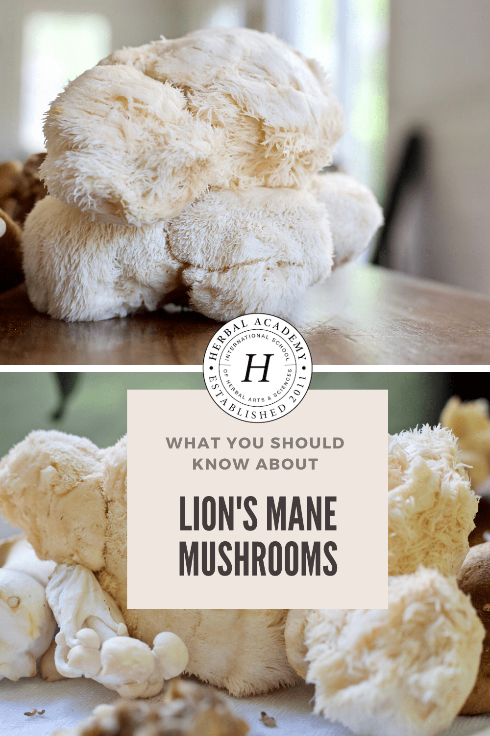 Lion's Mane Mushroom: What You Should Know – Herbal Academy