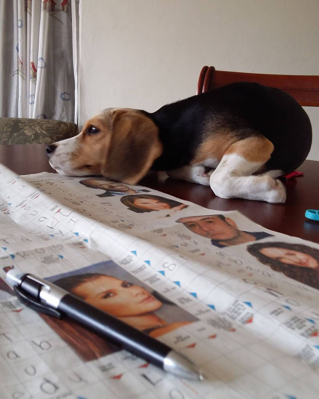 Pin by Michelle LaFremier on beagles Beagle puppy