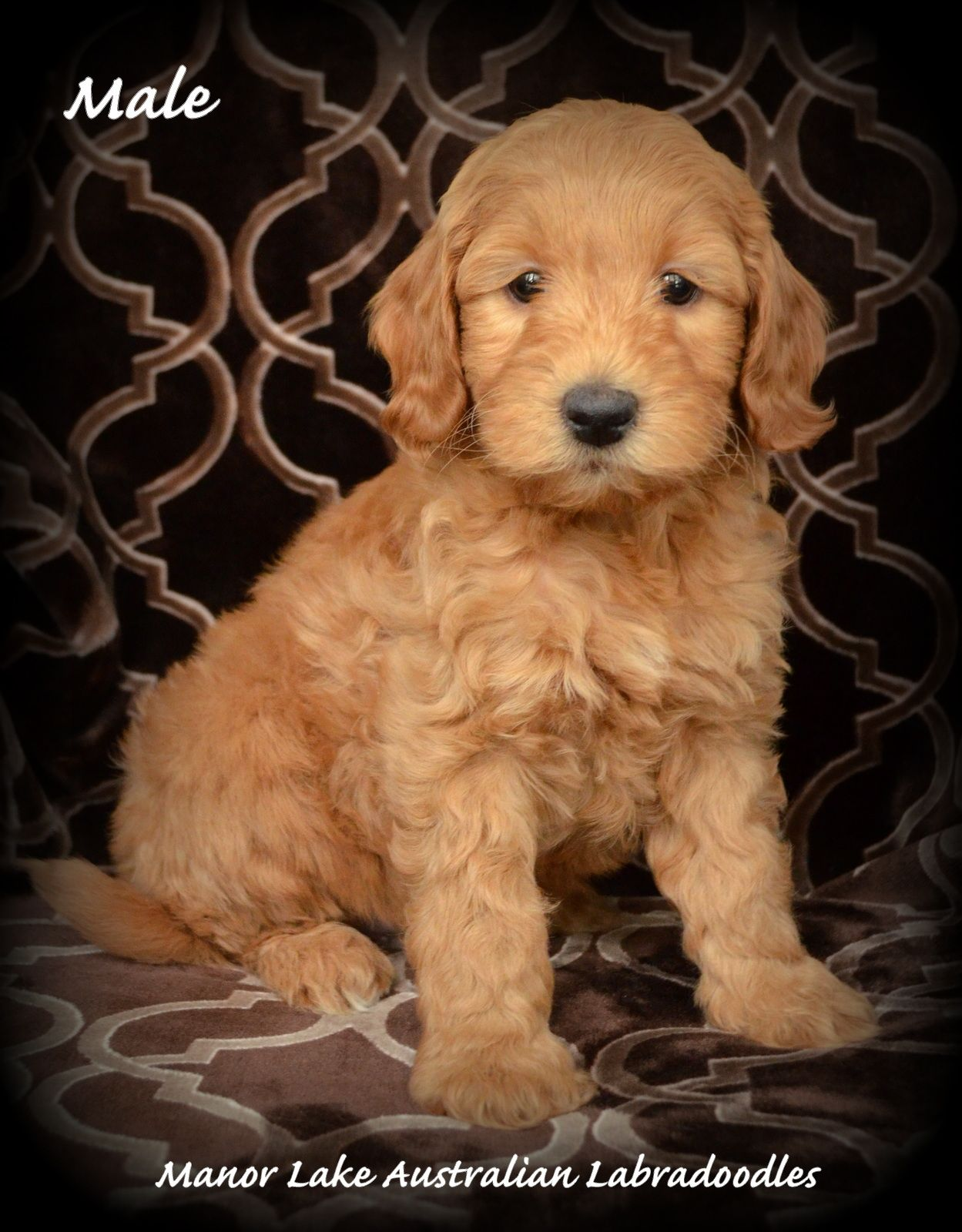 Available Austrailian Labradoodle Puppies Manor Lake Australian Labradoodles Miniature Australian Labradoodle Austrailian Labradoodle Puppy Labradoodle Puppy